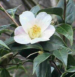 camelia sinensis - tea plant