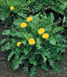 dandelion leaves are ideal to relieve constipation