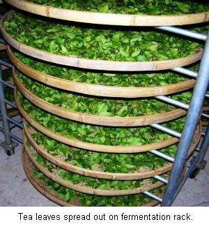 fermentation of tea leaves