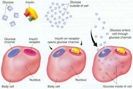 insulin opens glucose channels on the cell